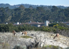 Deer at Asilomar (afagen) Tags: california deer pacificgrove asilomar asilomarstatebeach montereypeninsula