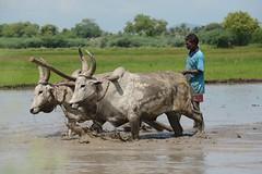 Tamil Nadu (nicnac1000) Tags: india green wet water field cattle rice mud paddy horns farmer horn splash faming oxen tamil muddy plough tamilnadu