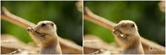 Always smell (Oape) Tags: food nature animal fauna zoo dof outdoor eat smell prairiedog dier emmen dierentuin dierenparkemmen