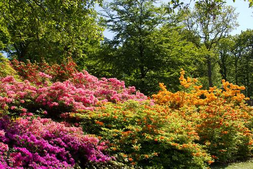 Rhododendron - Sofiero