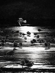 birds at sunlight (Darek Drapala) Tags: light blackandwhite bw sun ice nature water birds animals lumix blackwhite panasonic warsaw g2 bi warszawa panasonicg2 blinkagain