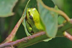 MAD13_01054a (jerryoldenettel) Tags: amphibian frog madagascar treefrog anura 2013 mantellidae boophis boophissp uidtreefrog