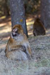 Barbary macaque 3 (Ryoushi no syokubutsuen) Tags: art sahara nature landscape desert arabic berber marocco marrakech magrib almagrib medrassa