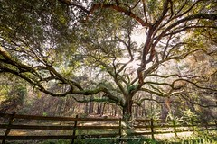 Live Oak at Weeks Bay (Magnolia Springs, Alabama) (Silver Canvas Photography) Tags: tree fence bay oak live alabama reserve research national weeks 2014 estuarine