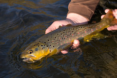 Eastern Fly-Fishing (Joe Janiak) Tags: flyfishing trout canon60d ramblephotography