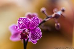 little Kolibri orchid (Blandine _OFF) Tags: 50mm bokeh janvier orchide 2014 bokehwhores beyondbokeh littlekolibriorchid