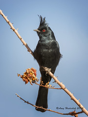 Phainopepla (Happy Photographer) Tags: winter bird desert nevada phainopepla valleyoffirestatepark happyphotographer amyhudechek