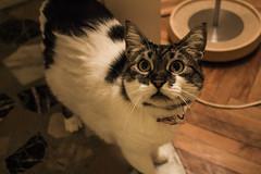 Sultan (ynrozturk) Tags: love cat felix