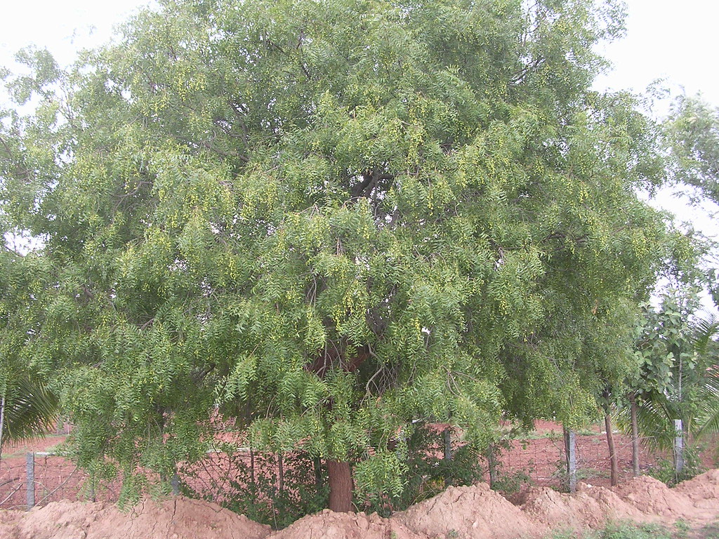 the world s best photos of azadirachtaindica and neem flickr existing neem tree azadirachta indica on the eastern side 06062013 32543262320232363263 323932623246