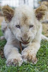 White cub with twig