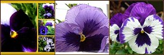 """. . . there's pansies, that's for thoughts"" (pawightm (Patricia)) Tags: austin texas inmygarden centraltexas midfebruary thinkingofmom pawightm pansiesforthoughts pansymosaic blueandpurpleblooms mosaiccee7b0ab8049da590321f96ade7e382051289e6c"
