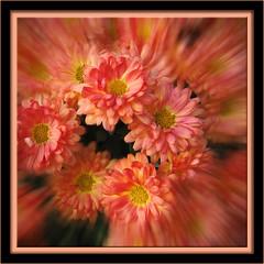 Red Mums (II) (gtncats) Tags: flowers nature mums aoi redmums mygearandme mygearandmepremium photographyforrecreation