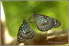 4235 - pair of blue tigers 2 (chandrasekaran a 30 lakhs views Thanks to all) Tags: india macro nature butterfly insects chennai tamron90mm bluetiger canon60d