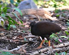 Orange-footed Scrubfowl (Stewart M) Tags: bird queensland magneticisland 2011 orangefootedscrubfowl