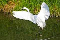 Great Egret's Jump up( ) (Johnnie Shene Photography(Thanks, 1Million+ Views)) Tags: wild white colour macro bird heron nature up birds animal animals horizontal canon lens outdoors photography eos rebel living jump jumping wings kiss image zoom outdoor wildlife south great birding wing sigma korea images apo flapping 70300mm egret flap flick dg herons egrets 456 t3i x5 70300 organism goyang  fragility 600d f456