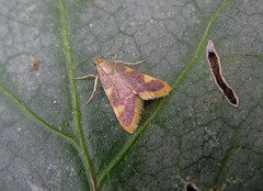 Hypsopygia costalis - La Pyrale du fourrage - The Gold triangle or Clover hay moth - 09/06/14 (Philippe_Boissel) Tags: france europe bretagne insects papillon pyralidae morbihan 069 pluneret pyralinae hétérocère goldtriangle hypsopygiacostalis cloverhaymoth pyraledufourrage lapyraledufourrage