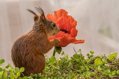 bride is waiting (Geert Weggen) Tags: flower macro nature colors animal closeup mammal lights squirrel sweden bokeh papaver redsquirrel eekhoorn sciurusvulgaris ragunda papaverpseudoorientale ilobsterit ekhorre
