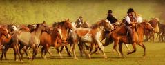 La madrina rosada (Eduardo Amorim) Tags: horses horse southamerica argentina criollo caballo cheval caballos cavalos pferde herd cavalli cavallo cavalo gauchos pferd pampa hest hevonen chevaux gaucho  amricadosul hst gacho  campero amriquedusud provinciadebuenosaires  gachos  sudamrica sanantoniodeareco suramrica amricadelsur  areco sdamerika gregge crioulo troupeau caballoscriollos herde criollos  tropillas  pampaargentina camperos americadelsud tropilhas tropilla  crioulos cavalocrioulo americameridionale tropilha caballocriollo campeiros campeiro eduardoamorim cavaloscrioulos pampaargentino