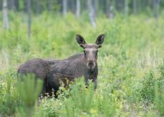 Elk bull (Wouter's Wildlife Photography) Tags: nature mammal sweden wildlife moose bull elk eland stier eurasianelk