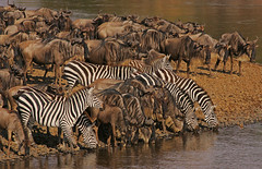 Tales of the Riverbank (Rainbirder) Tags: kenya ngc zebra wildebeest marariver rainbirder