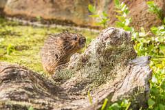Finally he pops out from under the log D61_8460.jpg (Mobile Lynn) Tags: nature fauna mammal unitedkingdom wildlife devon vole mammals rodents rodentia watervole broadwoodwidger