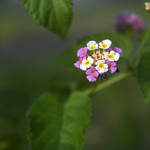 Lantana Flowers thumbnail