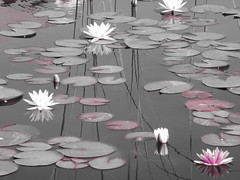 Water Lilies (marialoukia) Tags: flowers pond waterlilies thessaloniki greece