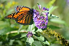 Monarch butterfly, High Park (Karin Lewis (Bookatz)) Tags: monarch butterfly highpark toronto