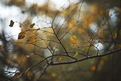 Sketchy (Tammy Schild) Tags: leaves branches yellow golden fall autumn october season nature tree