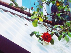 There is a rose outside the window. (Alphie Chen) Tags: flower plant fragility roseflower petal freshness growth red ros nature beautyinnature beautiful blooming blossom inbloom bloom spring springtime springflowers iphone5s iphonephotography