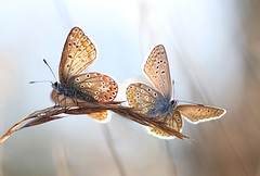A match made in heaven (Ingrid Ugussi Vukman) Tags: butterfly couple bremen germany ruderalsite polyommatusicarus commonblue nature lovenature warm lovely northgermany deutschland
