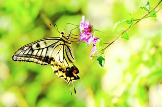 Female Asian Swallowtail on Small Flower : 吸蜜中のナミアゲハ(♀)