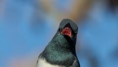 leaden flycatcher (Myiagra rubecula)-5678 (rawshorty) Tags: rawshorty birds canberra australia act campbell