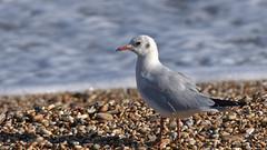 Black headed gull - Chroicocephalus ridibundus (Aardwolf6886) Tags: slaptonley slapton sands devon black headed gull blackheadedgull chroicocephalusridibundus sea beach
