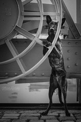 Dockworker (Maria Zielonka) Tags: hund hunde dog dogs hollandse herder herdershond hollndischer schferhund dutch shepherd kooiker kooikerhondje heimat hafen hamburg port maria zielonka fotografie photography outdoor