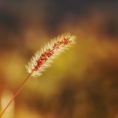 Lumire d'automne (S@ndrine Nel) Tags: gramines grasses lumire light warmlight nelsandrine