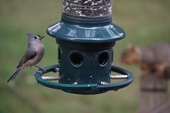 Backyard visitors (rkramer62) Tags: rkramer62 birdsandsquirrels grandvillemichigan tuftedtitmouse september