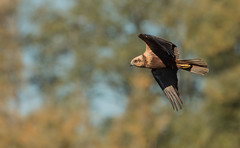 Rapace (Eric Penet) Tags: oiseau animal sauvage belgique wildlife wild faune nature automne octobre ornithologique lys valle roselire bird wallonie rapace busard roseaux femelle