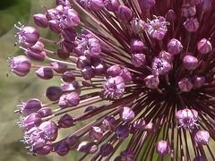 Allium spec 3 (heinvanwinkel) Tags: 2013 allioideae alliumspec amaryllidaceae asparagales bloemvandedag euphyllophyta griekenland juni kastraki liliopsida magnoliophyta mesangiospermae petrosaviidae spermatophyta tracheophyta ui