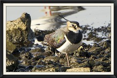 One from pennington flash (Philip A Price) Tags: lapwing sigma 500mm sony a99 ii tc pennington crop f45