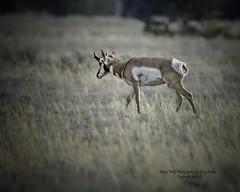 Pronghorn In Jackson Hole Wyoming, Grand Teton National Park (Hawg Wild Photography) Tags: pronghorn wildlife animal animals nature jacksonholewyoming grand teton tetons national park terrygreen nikon nikon600mmvr nikond4s hawg wild photography