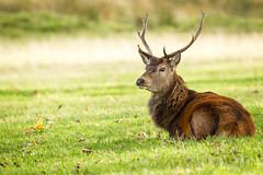 Rut, what rut? (AnnieMacD) Tags: applecross reddeer scotland stags westerross unitedkingdom gb