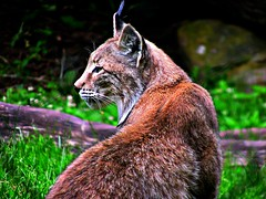 Wildpark Tripsdrill, Luchs, 75184/7385 (roba66) Tags: luchs raubkatze cat katze wildpark tripsdrill zoo tier tiere animal animals creature fauna