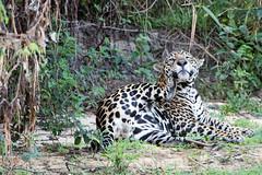 Male jaguar scratching (Tambako the Jaguar) Tags: jaguar big cat male beach sand vegetation scracthing funny testicles wildanimal wild wildlife nature pantanal matogrosso brazil nikon d5