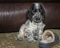 Echo at 9 Weeks (ausmc_1) Tags: dogs portalberni d800 flash echo handheld canine 2016 britishcolumbia female tamronsp2470mmf28divcusd november englishcockerspaniel vancouverisland sb900 canada indoors blueroan