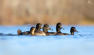Fuligule à collier - Ring-necked duck  - Aythya collaris