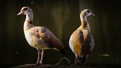 Les deux ouettes (Yasmine Hens) Tags: ouettes birds faune hensyasmine namur belgium wallonie europa aaa  belgique blgica    belgio  belgia   bel be 7dwf