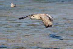 in flight (JnHkstr) Tags: ameland fotoclub fotoclubgespot gespot meeuw seagull waddenzee hollum strand waddeneilanden island bird nikon sigma150600