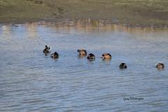 Mallard Duck Bathing_3081 (Porch Dog) Tags: 2016 garywhittington kentucky nikond750 fx nikon200500mm ducks mallard water wildlife nature feathers