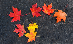 Blacktop Goldmine (hpaich) Tags: autumn fall foliage color colorful leaf leaves sugarmaple maple pavement blacktop maccadam holmdelpark holmdel park nj jersey newjersey